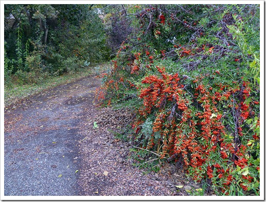 111120_Cotoneaster_001