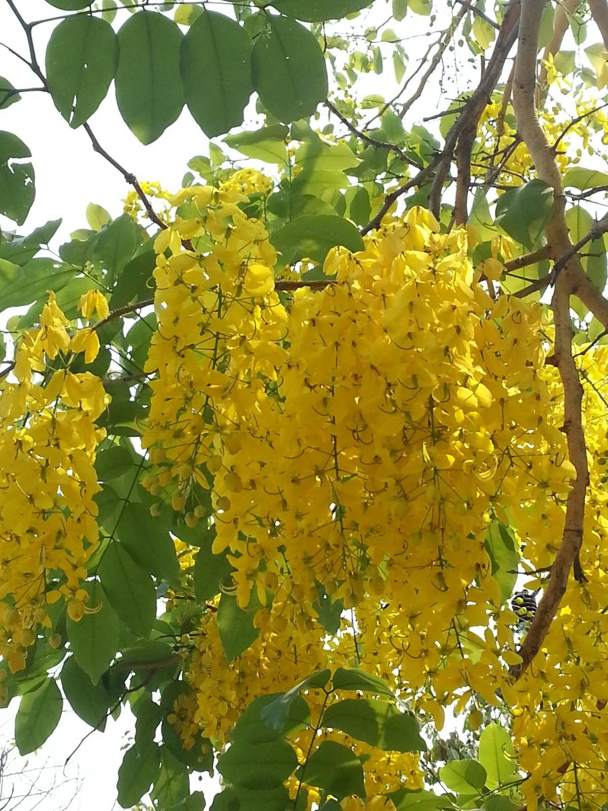 Blume Natursekt Baum stöhnt