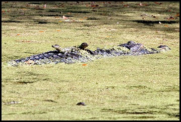 01c2 - Nature - Baby Gators hitching a ride