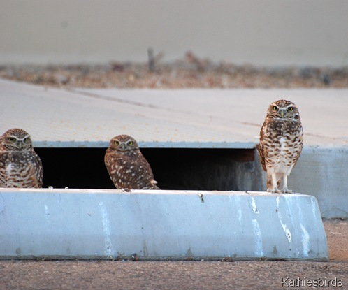 DSC_0199 Burrowing owls-kab