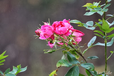 Roses still blooming October 17