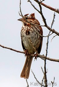 song sparrow-kab