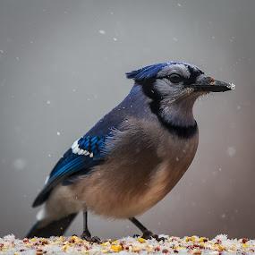 Snowy Beak by Bill Killillay - Animals Birds ( bird, nc, seed, snow, feeding, blue jay, birds, waynesville, snowing, north carolina )