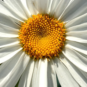 Does She Love Me? by Jennifer Wheatley-Wolf - Flowers Single Flower ( jennifer wheatley-wolf, petals, white, daisy, flower,  )