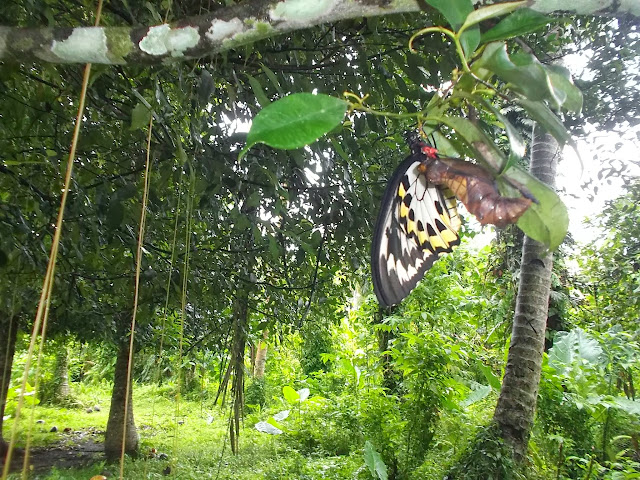 Émergence d'Ornithoptera croesus lydius (FELDER, 1865), femelle, sur Pararistolochia sp. Halmahera (Moluques, Indonésie), 19 septembre 2013. Photo : Photo : Eko Harwanto