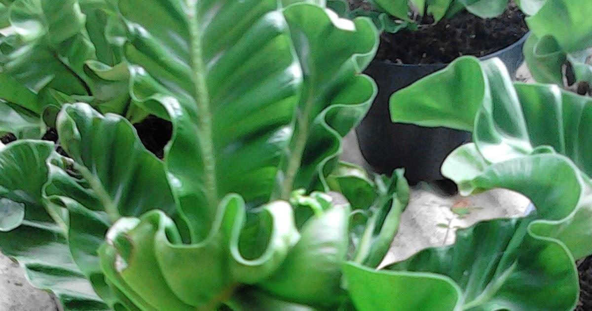 Jual pohon Lasagna   tanaman hias   tanaman pot - Tukang