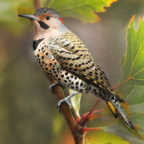 Yellow Shafted Northern Flicker  by Betty Arnold - Animals Birds ( animals, nature, flicker, northern flicker, birds,  )