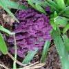 Violet Coral Fungus
