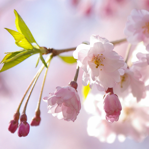 Free Apk android  Japanese Flowers HD Wallpapers 1.5  free updated on