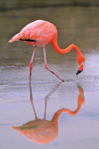 Galapagos_wild_flamingo - A wild flamingo looks for a snack in the Galapagos Islands.
