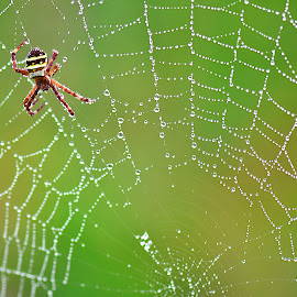 by Asriadi Lucky Pratama - Nature Up Close Webs ( web, spiderweb )