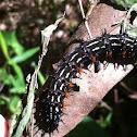 Autumn Leaf Butterfly caterpillar