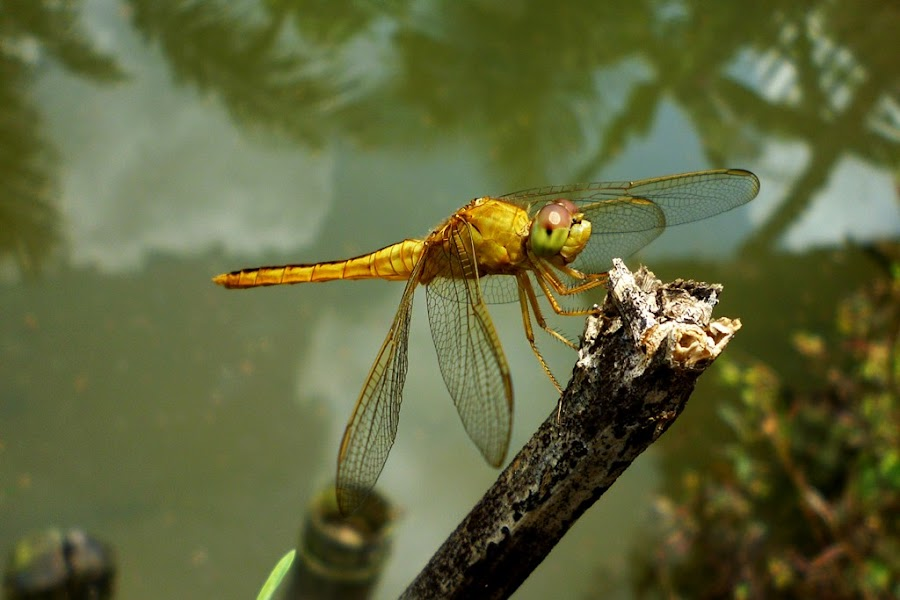 dragonfly by Razone Wane - Animals Insects & Spiders