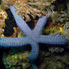 Azure Sea Star