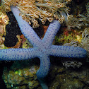 Azure Sea Star