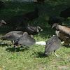 Black Vultures and Turkey Vultures