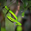 Smooth Green Snake or Grass Snake