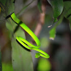 Smooth Green Snake or Grass Snake