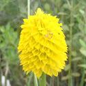 Yellow or Rugel's milkwort