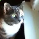 Pastel Calico Cat (Cuddles)