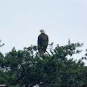 American Bald Eagle (Mature)