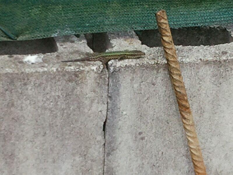 lagartija de bocage