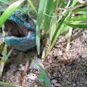 Iberian Emerald Lizard,Lagarto-de-água