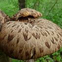 Pheasant's Back Mushroom