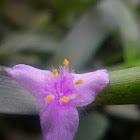 Spiderwort-plant