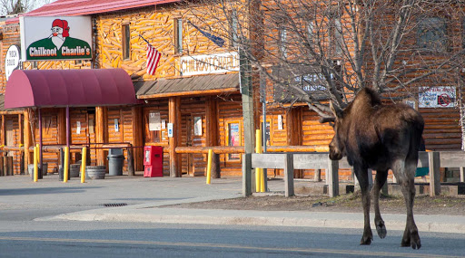 "Anchorage-moose-on-street - A moose near Chilkoot Charlie's (Koots) in Anchorage, Alaska, like a scene out of ""Northern Exposure."""