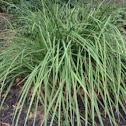 Monkey grass