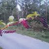 Pokeweed
