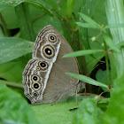 Darkbrand Bushbrown Butterfly