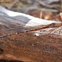 Common Winder Damselfly