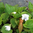 White Violet (Wildflower)