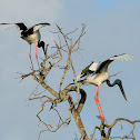 Jabiru (Black-necked Stork)