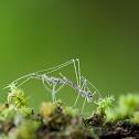Just Molted - Threadlegged Assassin Bug