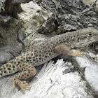 Large Spotted  Leopard Lizard