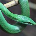 Rhinocerous Rat snake