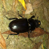 Stag beetle (female), Vliegend hert (dutch)