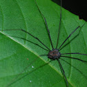 Harvestman or Daddy long legs