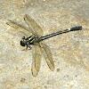 Gomphidae Dragonfly