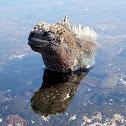 Iguana marina. Marine Iguana