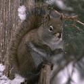 Snow Squirrel Live Wallpaper icon