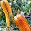 Heath Banksia