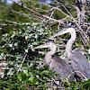Great Blue Heron (fledglings)