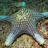 Honeycomb Sea Star