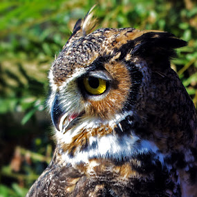 HornedOwlProfile by Joanne Burke - Animals Birds