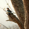 Blue Jay/Indian Roller