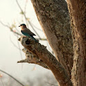 Blue Jay/Indian Roller